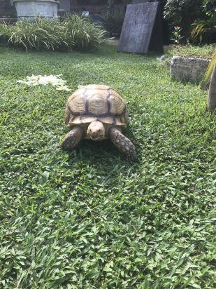 豪华池景房 酒店绿化做得很好,看到了大乌龟,兔子,青蛙,吃饭时就有鸟
