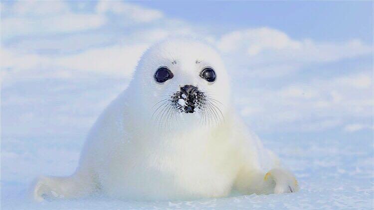 全球最萌 白色小海豹观赏季