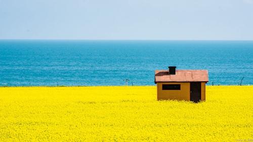 青海湖油菜花