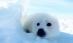 CNN全球最萌动物·雪白竖琴小海豹