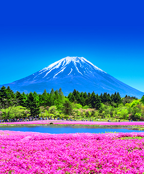 日本芝樱庆典
