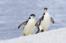 直飞南极 企鹅