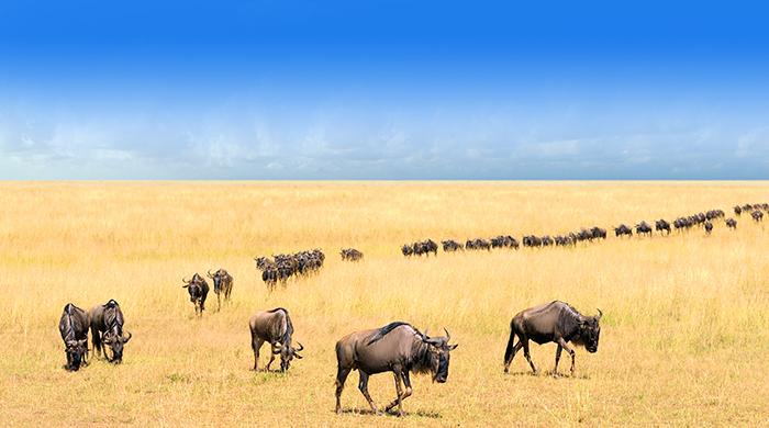 动物大迁徙