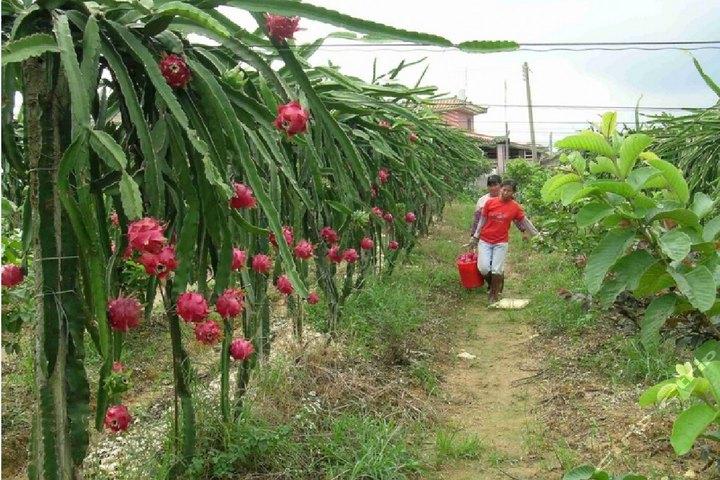 广州小泉山火龙果园(200元2人火龙果采摘)图片