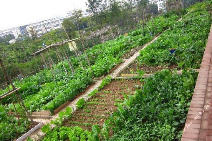 如图,有一靠墙的菜园,用52.4米的篱笆围起来,请你算出这个菜园的占地面积。(图2)  如图,有一靠墙的菜园,用52.4米的篱笆围起来,请你算出这个菜园的占地面积。(图6)  如图,有一靠墙的菜园,用52.4米的篱笆围起来,请你算出这个菜园的占地面积。(图11)  如图,有一靠墙的菜园,用52.