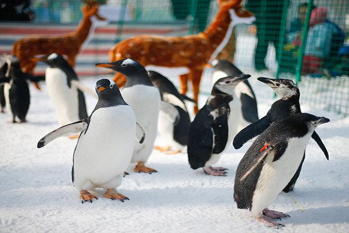 壁纸 动物 企鹅 720_480
