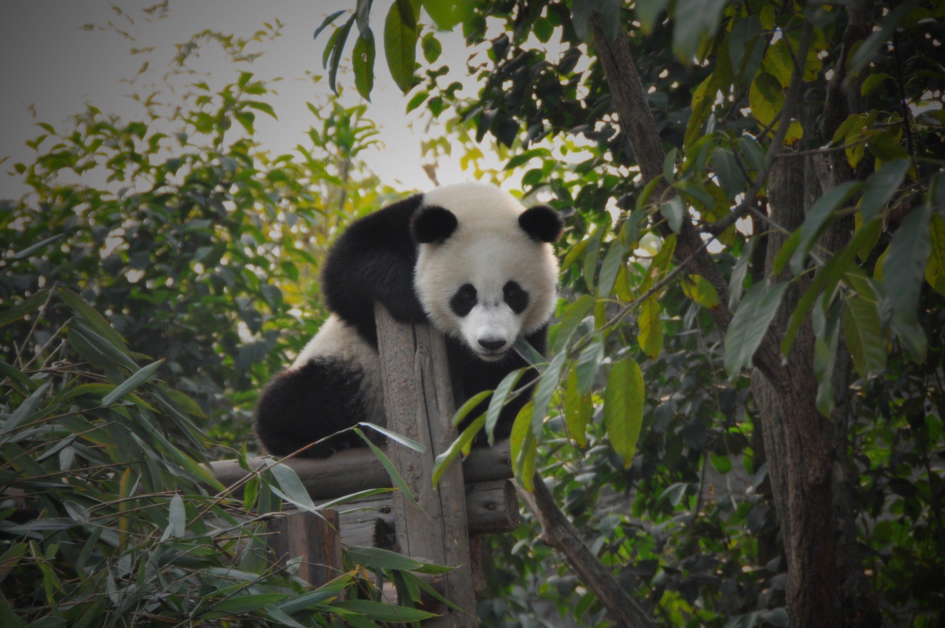 壁纸 大熊猫 动物 3216_2136