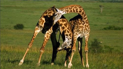 【动物大迁徙】肯尼亚全景8天5晚·马赛马拉+最美