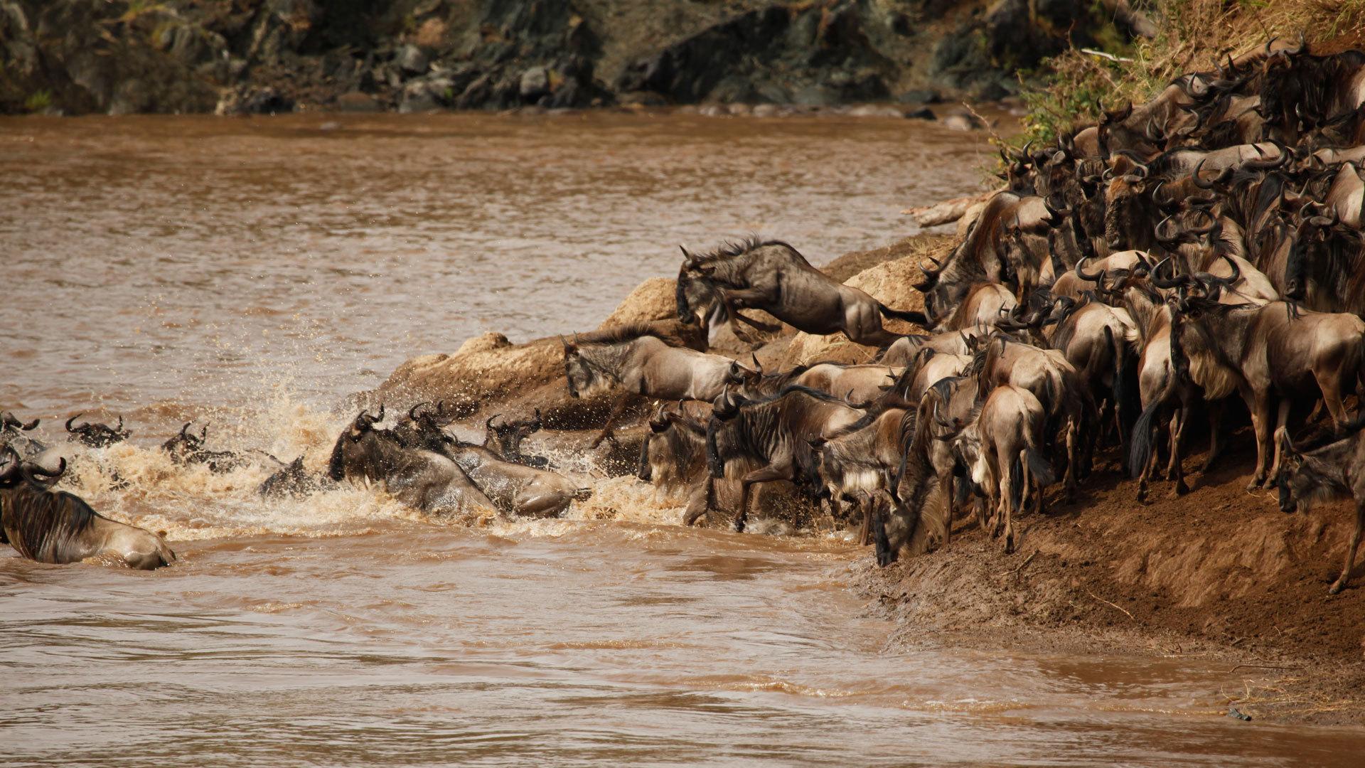 壮观的野生动物大迁徙中
