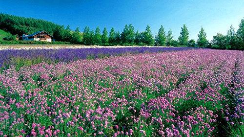 富田农场春天的花海