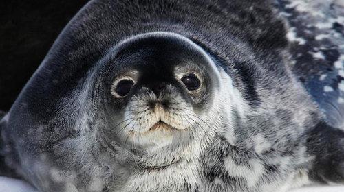 世界 表情 邮轮/表情超萌的威德尔海豹