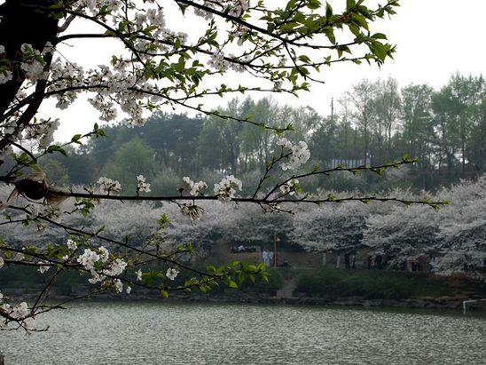 青岛中心广场樱花
