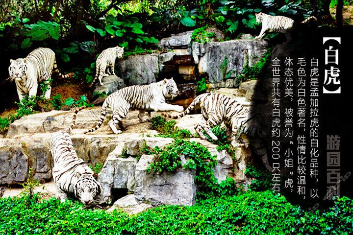 广州长隆野生动物园—白虎