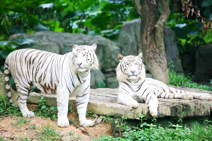【广州长隆野生动物园团购】深圳-广州长隆野生动物