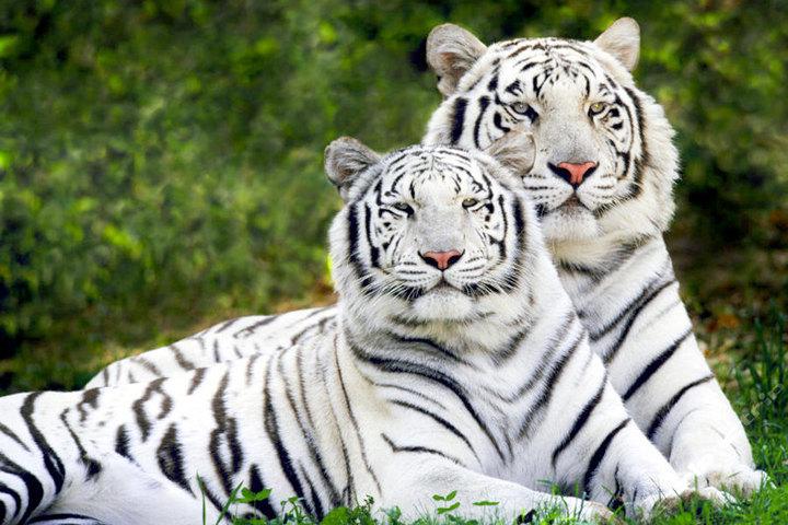 棋盘山森林野生动物园—白虎